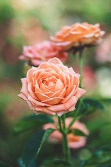 Rose ad arbusto in giardino, sfondo colorato di natura