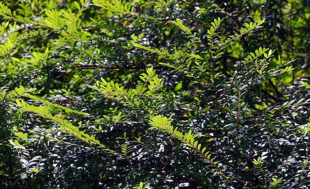 Arbusto con piccole foglie verdi, per piante ornamentali. sfondo naturale.