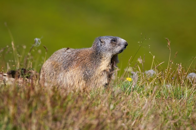 Timida marmotta alpina che osserva da parte su un prato in montagna illuminata dal sole estivo.