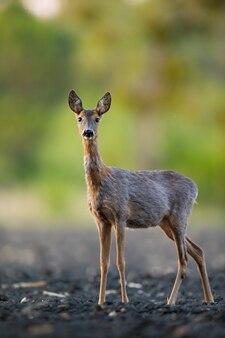 Timido capriolo doe cambiando pelliccia e in piedi su un campo nella natura primaverile.