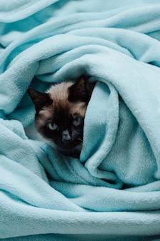 Un gatto siamese dentro una coperta blu che guarda alla telecamera con curiosità