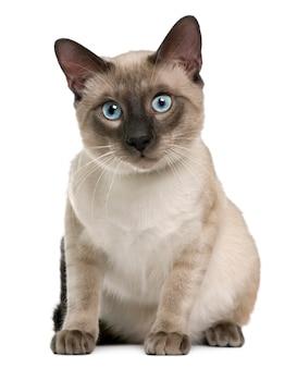 Gatto siamese, seduto di fronte a uno sfondo bianco