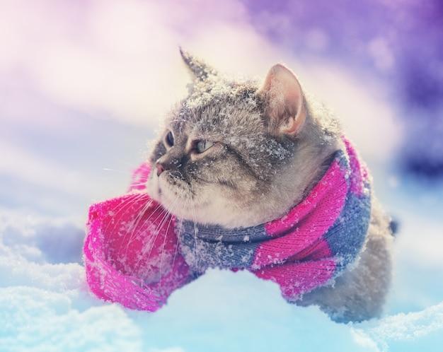 Gatto siamese che indossa una sciarpa lavorata a maglia seduto nella neve