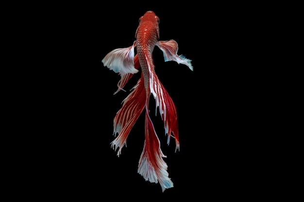 Pesce combattente siamese betta isolato al buio