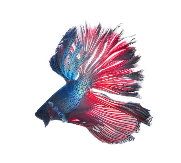 Pesce combattente siamese, betta isolato su sfondo bianco