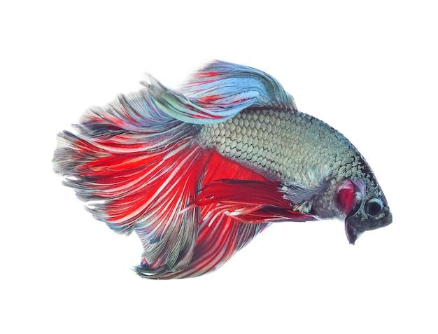 Pesce combattente siamese, betta isolato