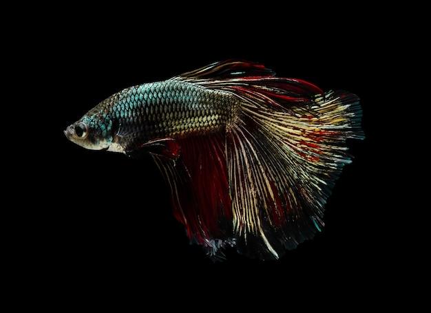 Pesce combattente siamese o pesce betta splendens, popolare pesce d'acquario in thailandia. mezza luna di rame coda betta combattimento movimento del pesce isolato su sfondo nero