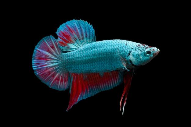 Pesci siamesi di combattimento, betta splendens, tailandia