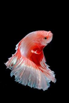 Pesce combattente siamese su sfondo nero Foto Premium