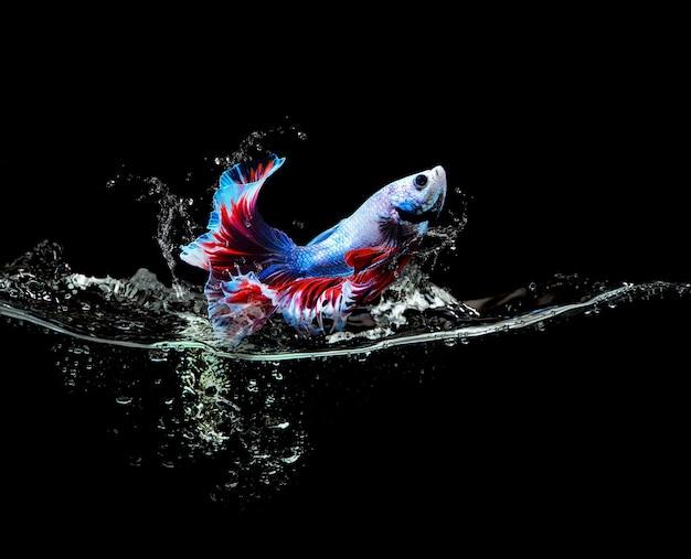 Pesce combattente siamese che salta fuori dagli schizzi d'acqua