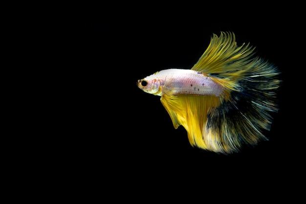 Pesce combattente siamese pesce combattente multicolore