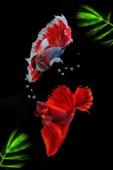 Pesce combattente siamese con alghe verdi.