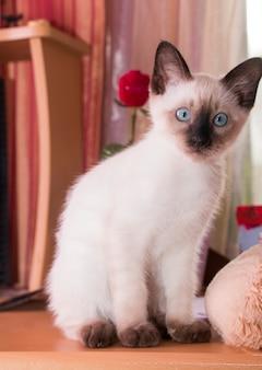 Il gattino siamese con gli occhi azzurri si siede su un tavolo