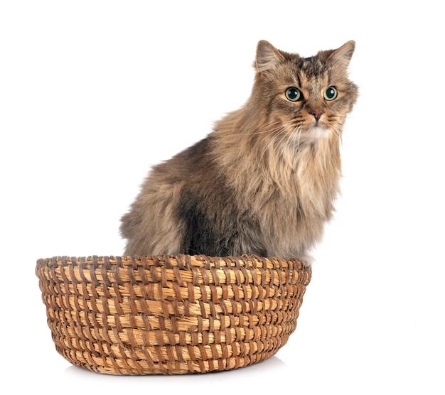 Gatto siberiano isolato su bianco Foto Premium