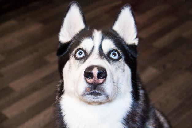Primo piano del naso rauco siberiano faccia buffa del husky siberiano. messa a fuoco selettiva.