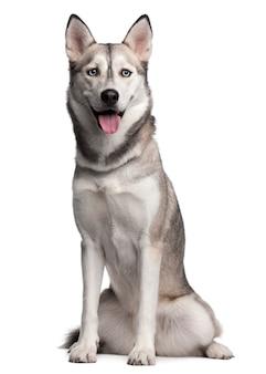 Siberian husky, 2 anni. ritratto di cane isolato