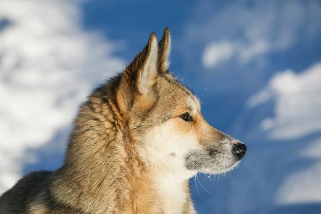 Siberian husky sullo sfondo della natura invernale