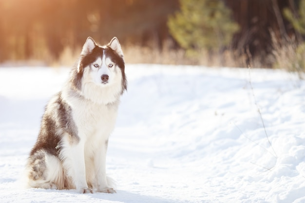Cane husky siberiano colore bianco e nero in inverno