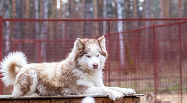 Cane del husky siberiano sdraiato su una casa di legno. il cane sta mentendo, annoiato e riposa. foto di alta qualità