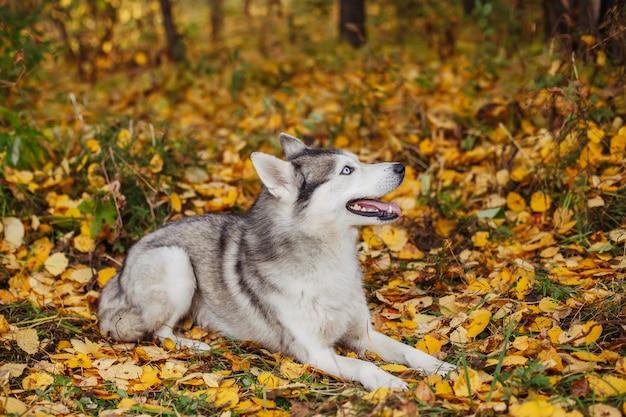 Cane del husky siberiano con gli occhi azzurri che si trova nella foresta di autunno