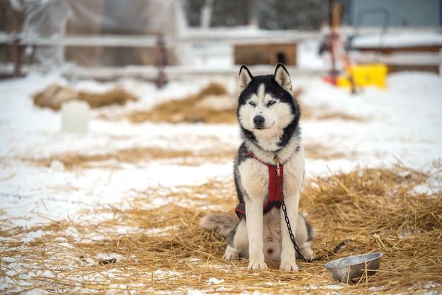 Ritratto di cani husky siberiano in inverno