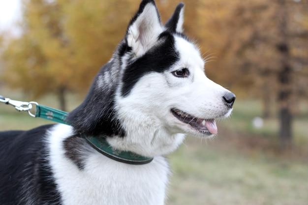 Siberian husky al guinzaglio cane cammina nella foresta di autunno.