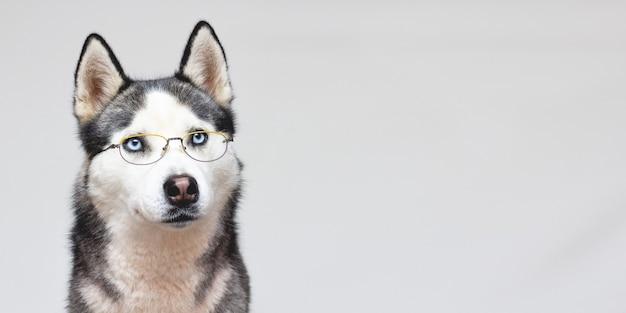 Ritratto del husky siberiano in bicchieri su uno sfondo grigio
