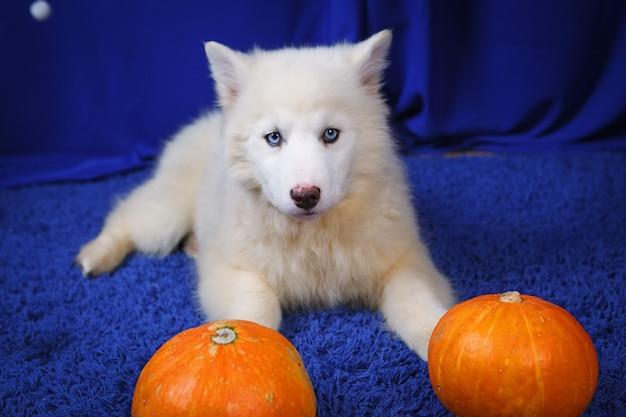 Cucciolo di siberian husky bianco con zucca su sfondo blu