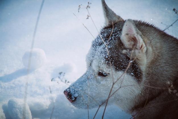 Siberian husky seduto nella neve