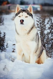 Siberian husky in montagna invernale