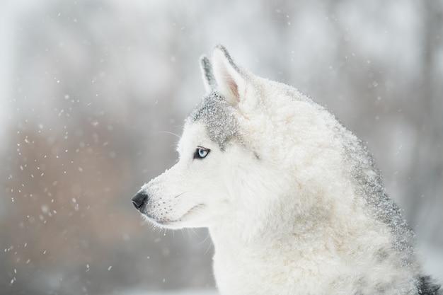 Siberian husky con gli occhi azzurri in inverno