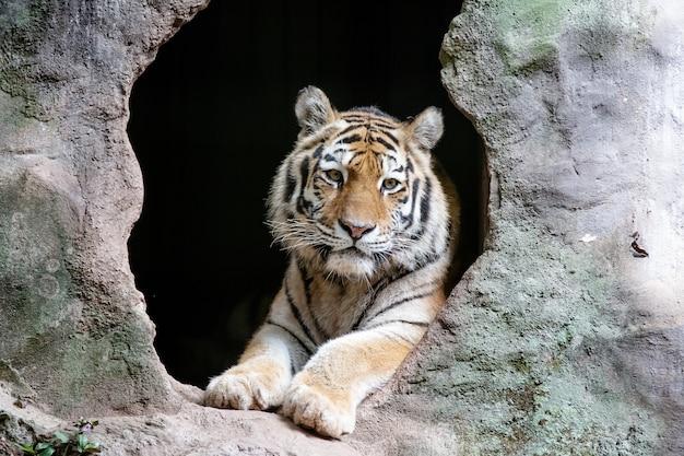 La tigre siberiana conosciuta anche come tigre theamur è una delle 6 popolazioni di tigri ancora esistenti