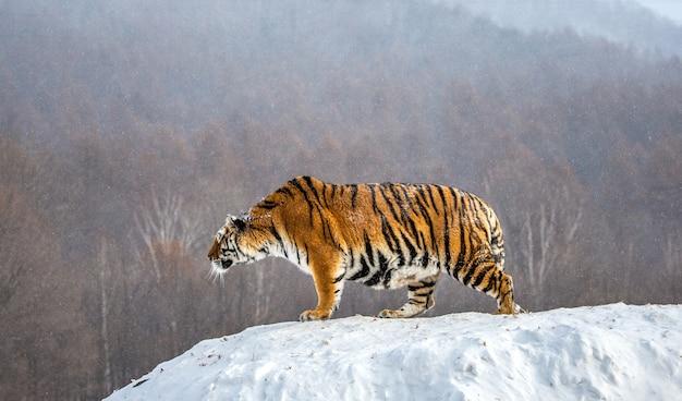 La tigre siberiana è in piedi su una collina innevata su uno sfondo di alberi d'inverno. parco della tigre siberiana.