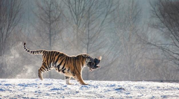 Tigre siberiana che corre nella neve e cattura la preda. parco della tigre siberiana.