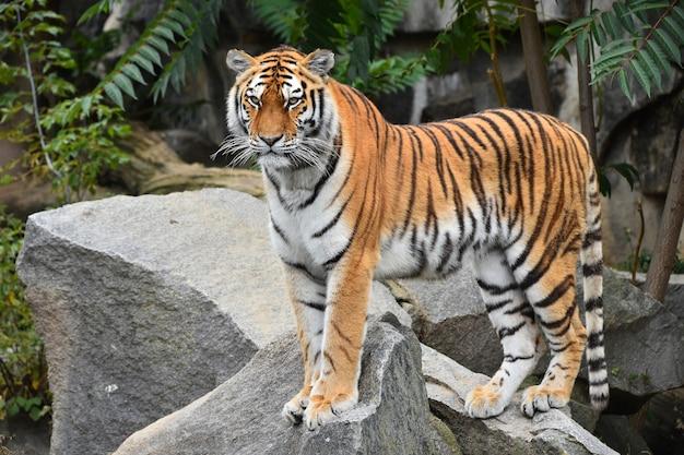 Tigre siberiana in piedi sulla roccia
