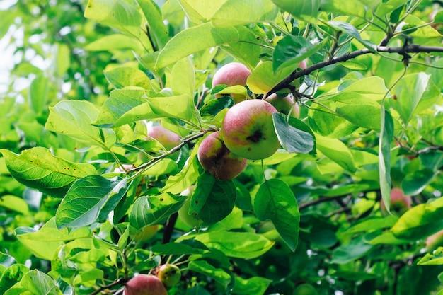 Una mela malata con evidenti segni di lesione che cresce su un ramo