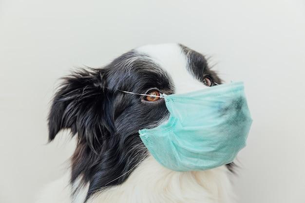 Border collie cane malato o contagioso che indossa mascherina medica chirurgica protettiva isolata su priorità bassa bianca