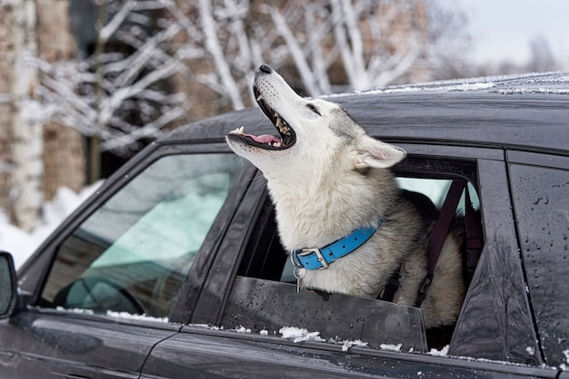 Il cane malato ulula e si lamenta con la testa che sporge dal finestrino dell'auto