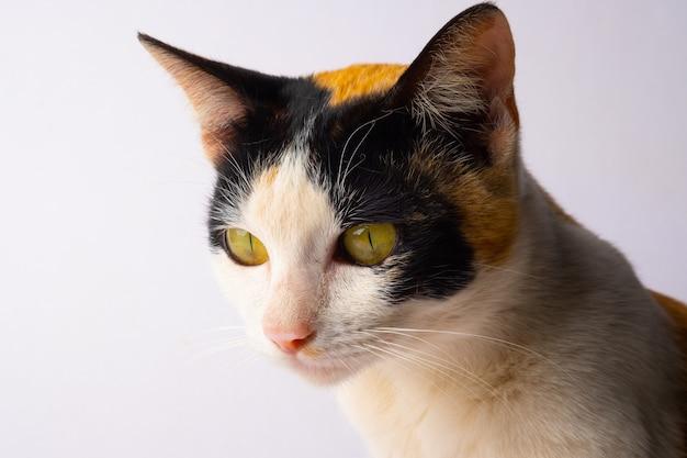 Faccia di gatto laterale, selezionare la messa a fuoco sulla zona del naso su sfondo bianco.