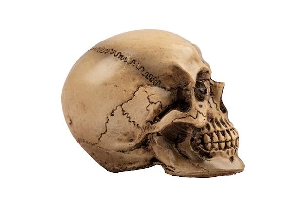 Cranio laterale isolato su bianco.