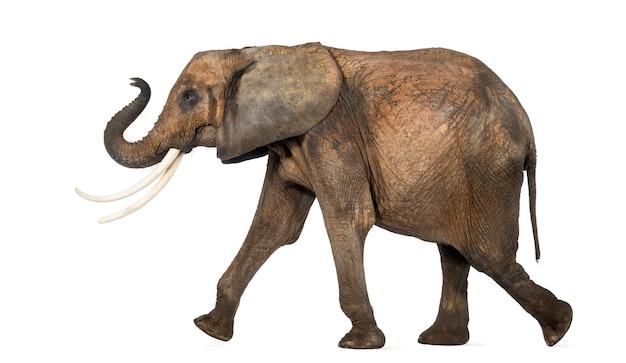 Vista laterale di un elefante africano che esegue, isolata su bianco