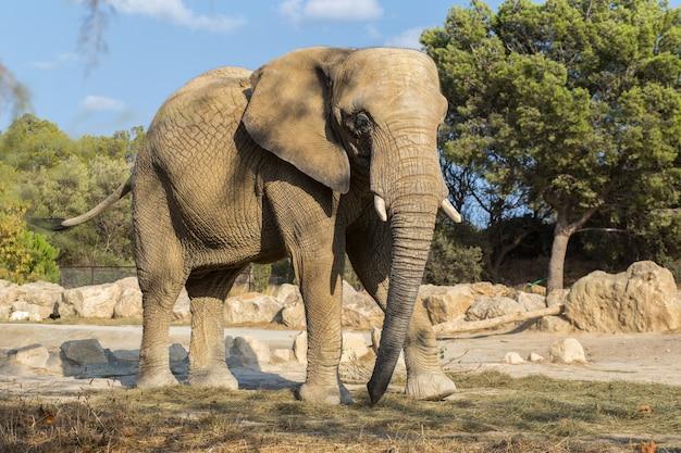 Vista laterale dell'elefante africano che cammina nella natura