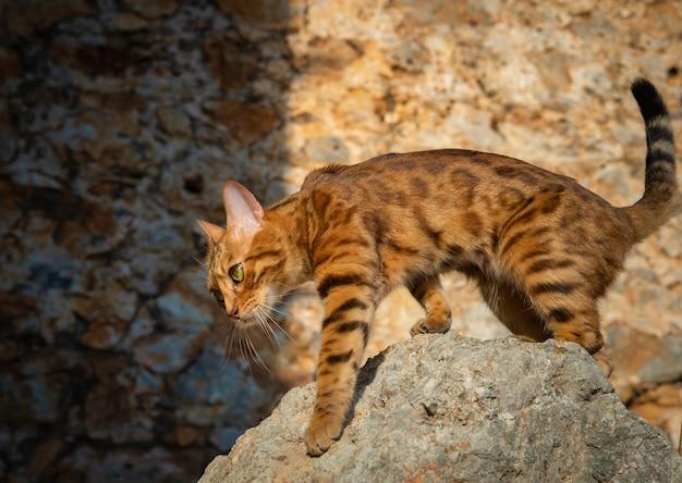 Vista laterale di un bellissimo gatto bengala che cammina sulle pietre