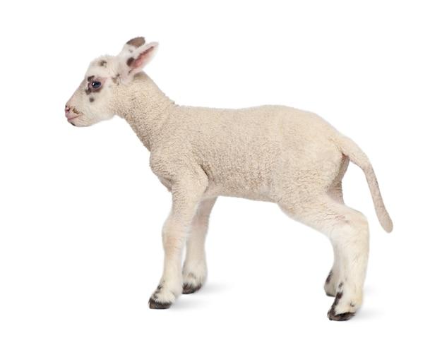 Vista laterale di un agnello in bianco e nero su un bianco isolato