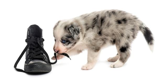 Vista laterale di un cucciolo di incrocio che gioca con una scarpa isolata su bianco