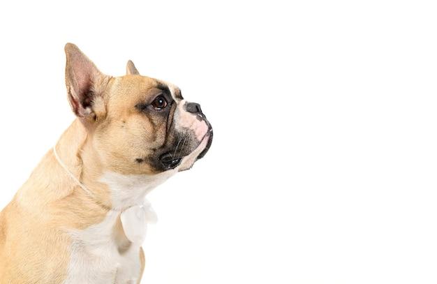 Vista laterale del simpatico bulldog francese indossare papillon bianco isolato su sfondo bianco