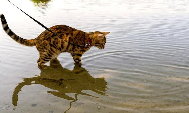 Vista laterale di un gatto domestico del bengala in piedi in acqua su uno stagno