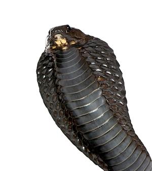 Vista laterale del cobra egiziano, naja haje isolato