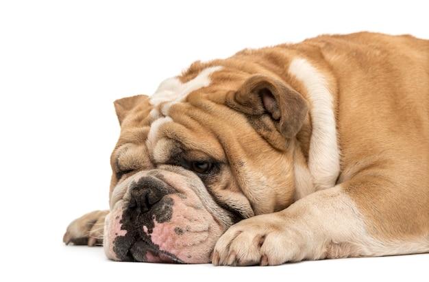 Vista laterale di un bulldog inglese che dorme e si sdraia isolato su bianco