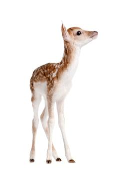 Vista laterale di daino fawn, dama dama, in piedi contro il muro bianco